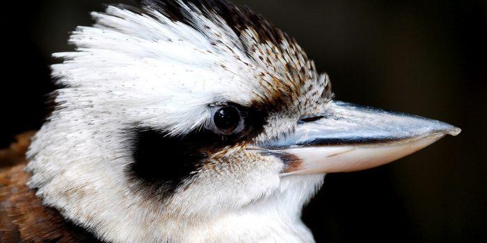 Profil kukabury chichotliwej